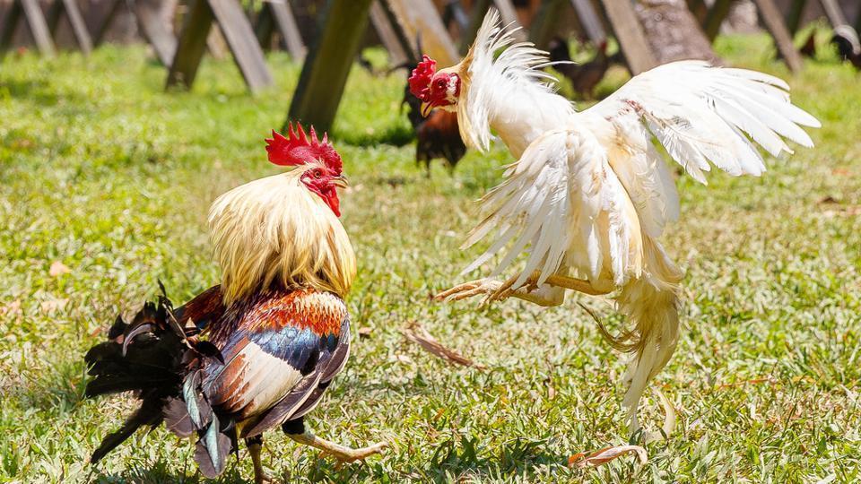 Kenali Kemampuan Petarung Di Judi Sabung Ayam Online